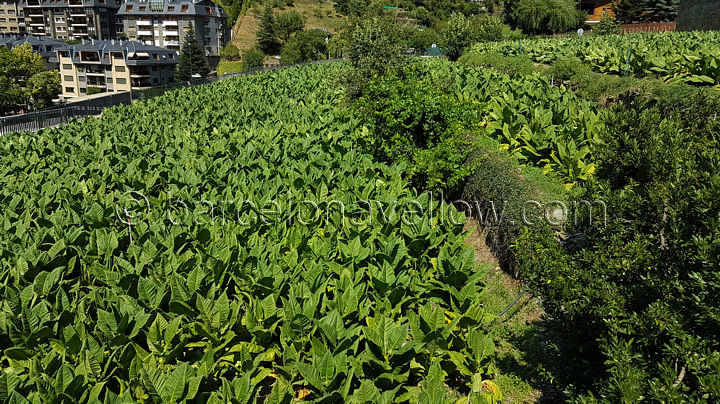 andorra_tobacco_fields