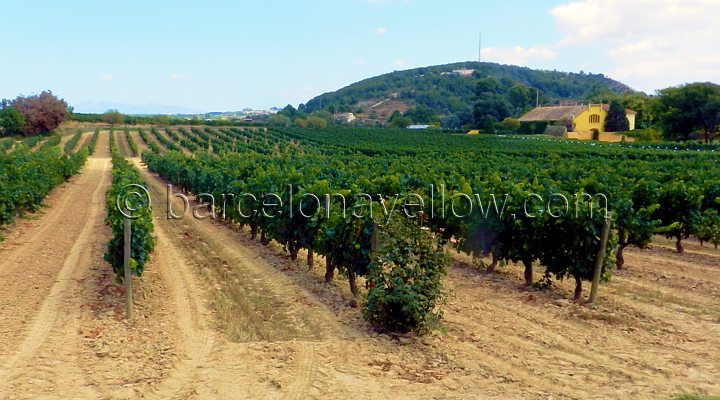 vineyards_near_barcelona